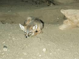 endangered fox