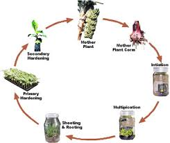 plant tissue culture technique