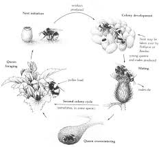 honey bee life cycle diagram