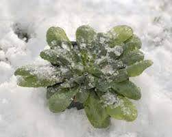 cold plants