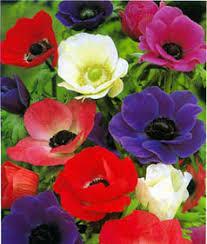 anemone plants