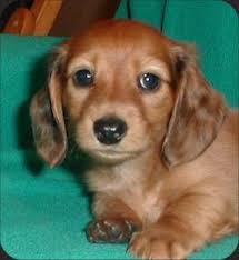 mini daschund pups