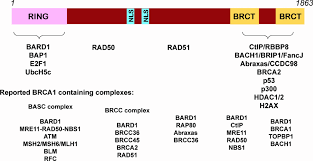 brca1 protein