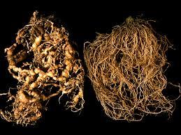 root knot nematode
