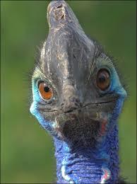 cassowarys