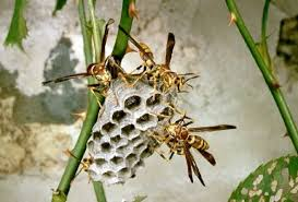 paper wasp pictures