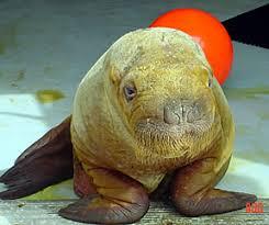 growing up walrus