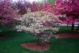 dwarf crabapple tree