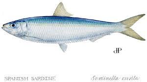 sardine pictures