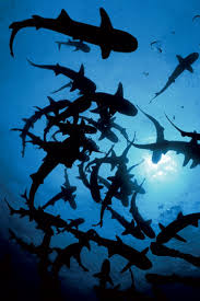 sharks in costa rica