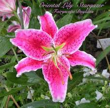 oriental hybrid lilies