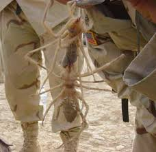images of camel spiders