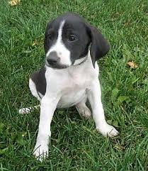 pointer hound