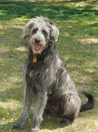 german shepherd poodle
