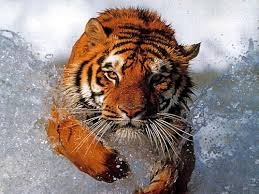 tiger hunting pictures