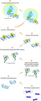 chromatin immunoprecipitation assay