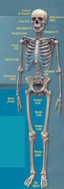 el esqueleto humano y sus partes