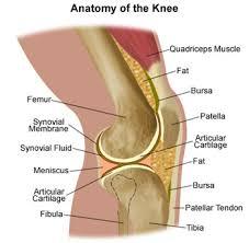 leg bones pictures