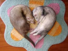 pictures of ferrets