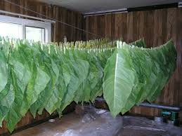 pictures of tobacco leaves
