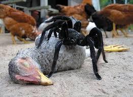 chicken species pictures
