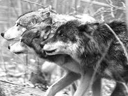 grey wolf packs