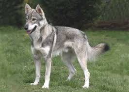dogs that look like a wolf
