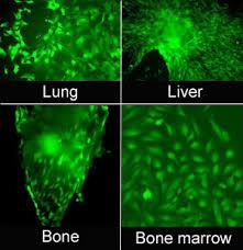 mouse mesenchymal stem cells