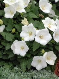 campanula carpatica white clips