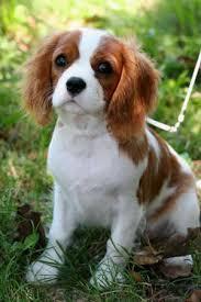 cavalier king dog