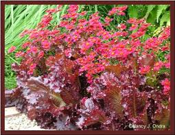 coreopsis limerock ruby