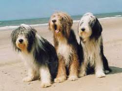 bearded collie breeders