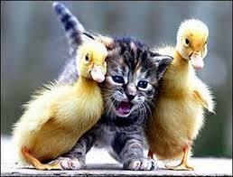 kitten duck