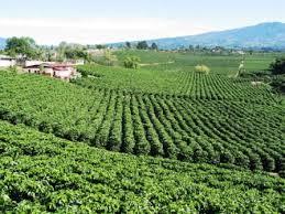 cafe plantation