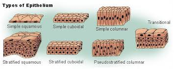 glandular epithelial tissue