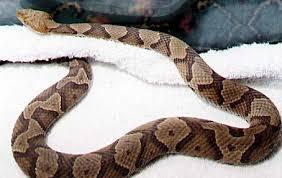 copper head snake