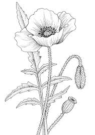 poppy drawings