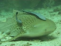 cleaner fish and shark