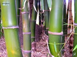 plantas chinas