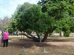 mulberry tree photo