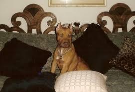 eli pitbull bloodline