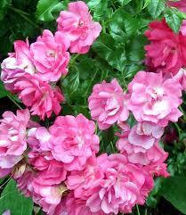 magic carpet rose