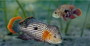 green terrors fish