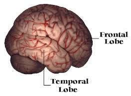 frontal lobe pictures