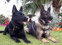 canine police dogs