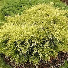 juniperus pfitzeriana