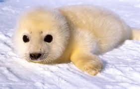 pictures of baby seals