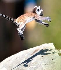 lemur babies