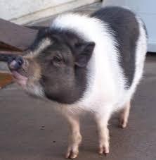 pig hoof
