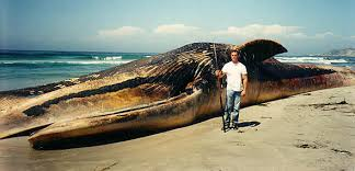 how big are whales